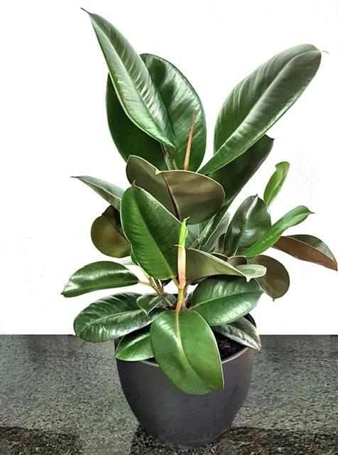 Indoor plant deliver muscat