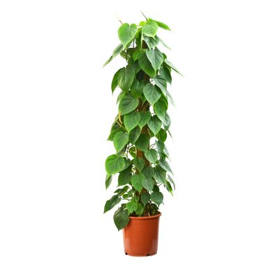 philodendron, indoor plant, office plant