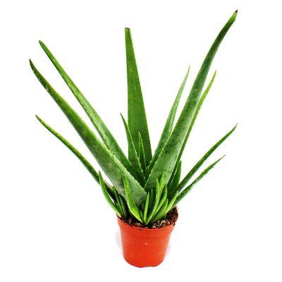 Indoor plant, houese plant, aloe vera, home plant,