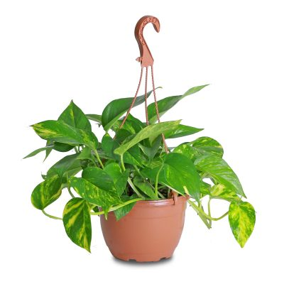indoor plant, moneyplant, homeplant, offoce plant