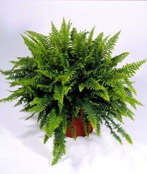 indoor plant, decor plant, nephrolepsis