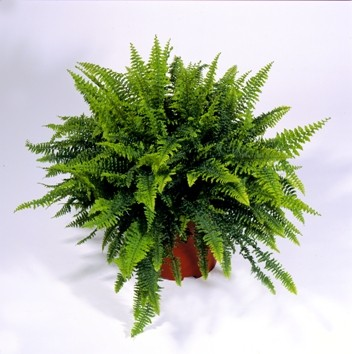 indoor plant, decor plant, nephrolepsis