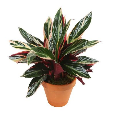 Calathea, indoor plant,decor plant, plants for sale