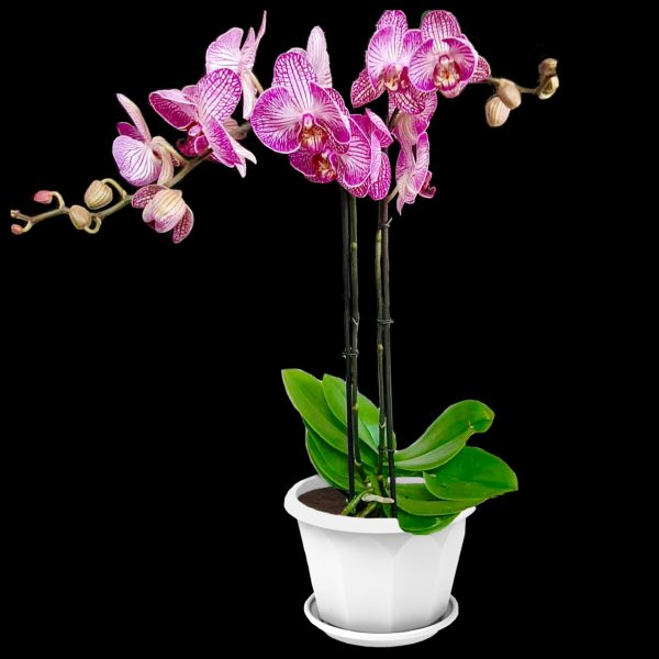Phalaenopsis purple orchid in white pot