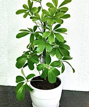 indoor plant muscat oman deliver