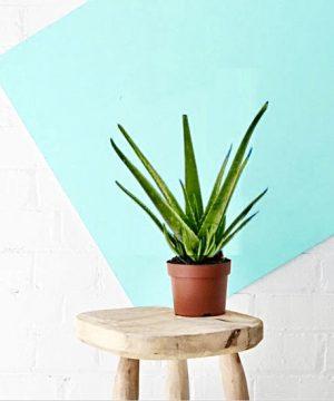 Aloe Vera plant in muscat