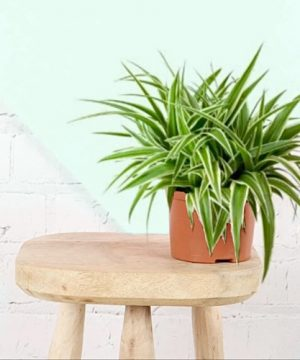 Spider plant delivery in muscat